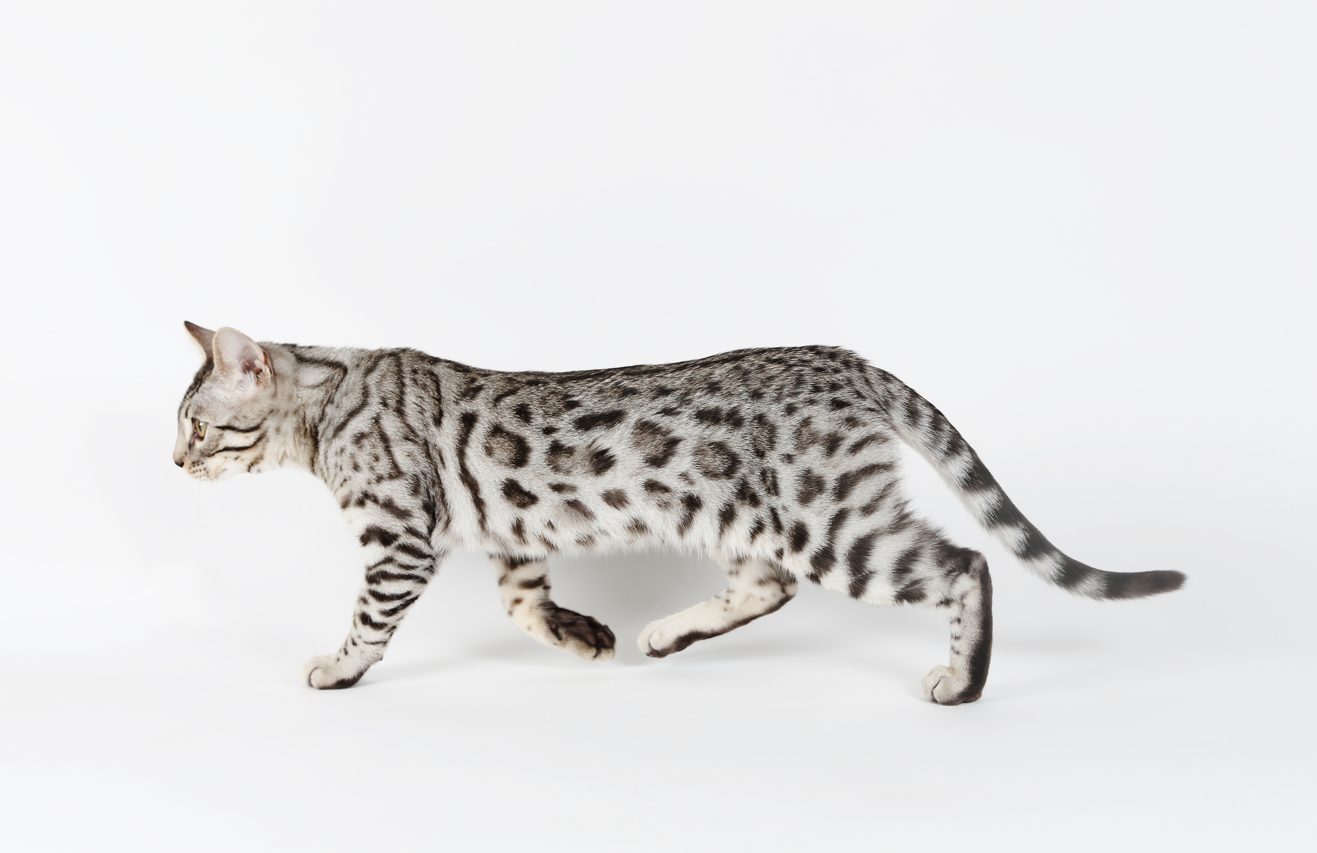 kung bore cloudforest bengal